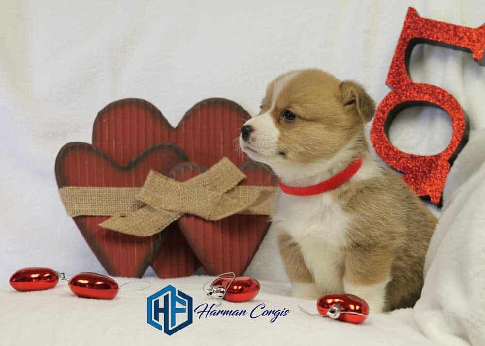 Red and White Male Corgi puppy for sale at Harman Corgis valentine photo