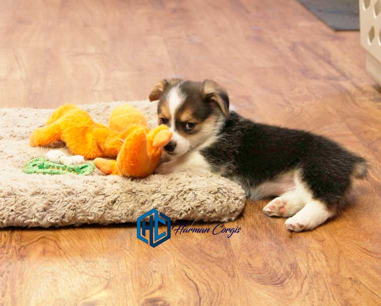 Pembroke Welsh Corgi Puppy at Harman Corgis