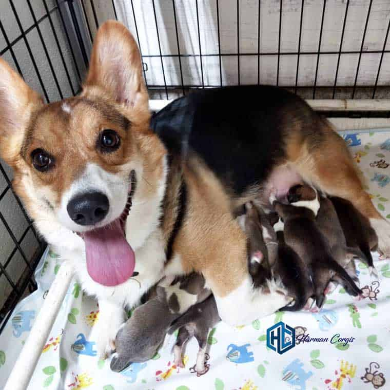 Corgi Mom and puppies at Harman Corgis