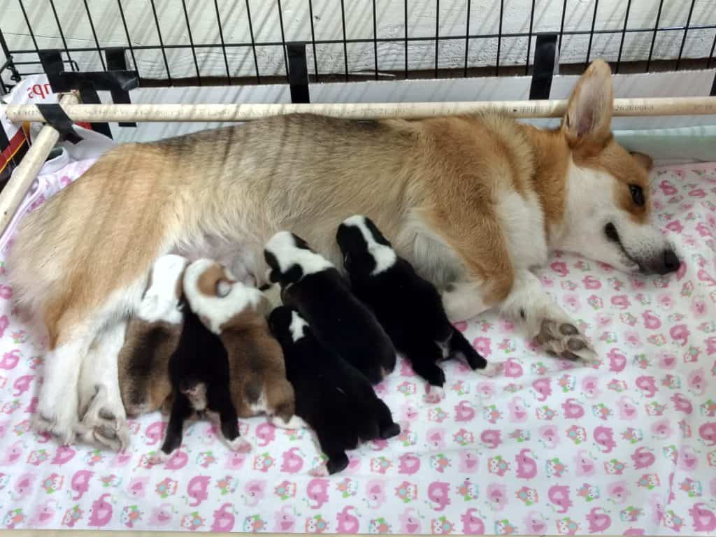 Corgi mom with puppies at Harman Corgis