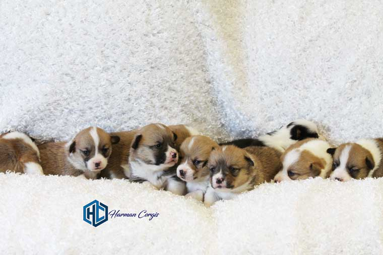 Corgi Puppies at Harman Corgis