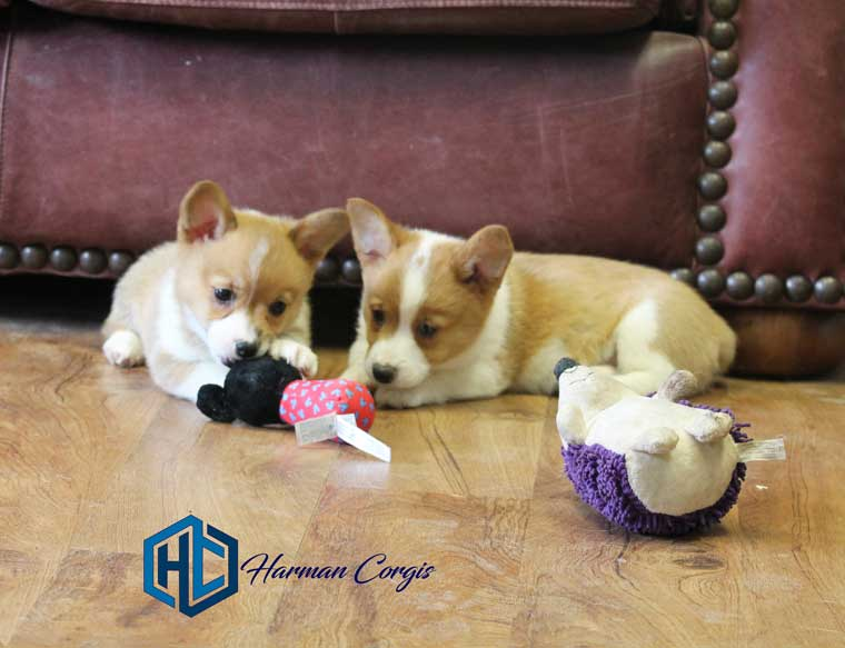 Corgi Puppy at Harman Corgis