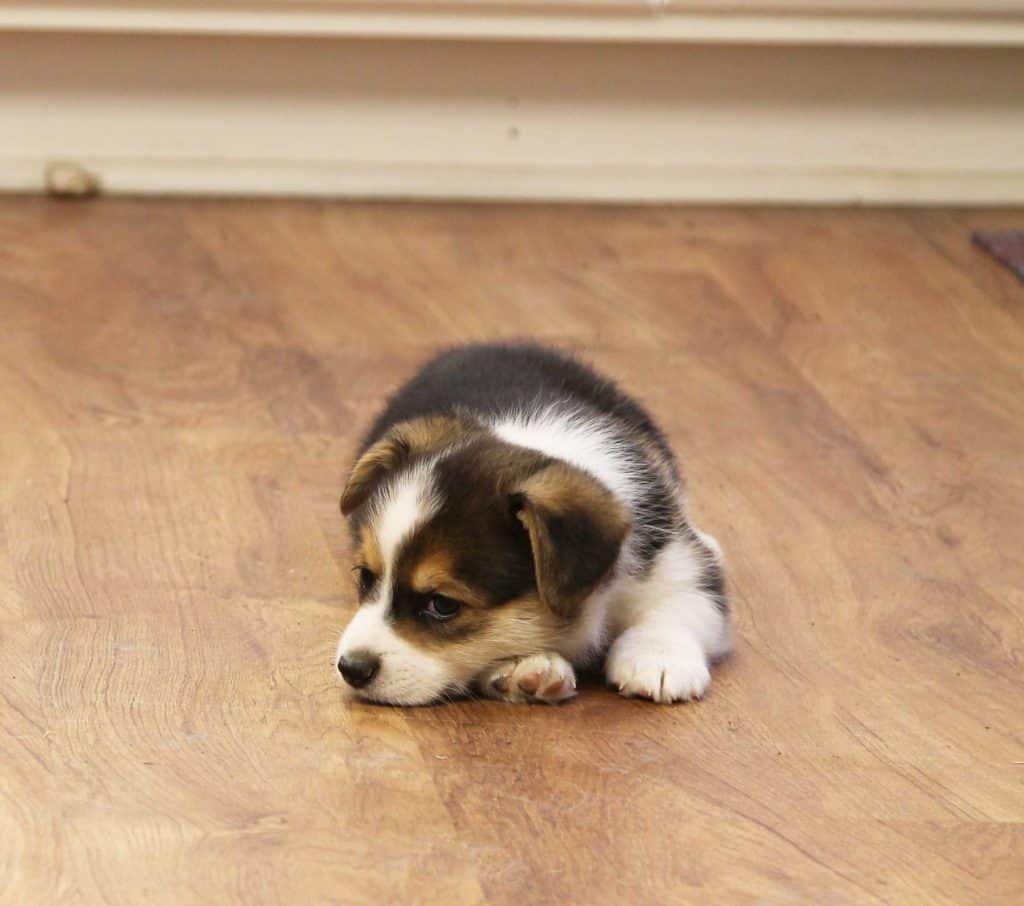 Red Headed Tri Corgi Pup