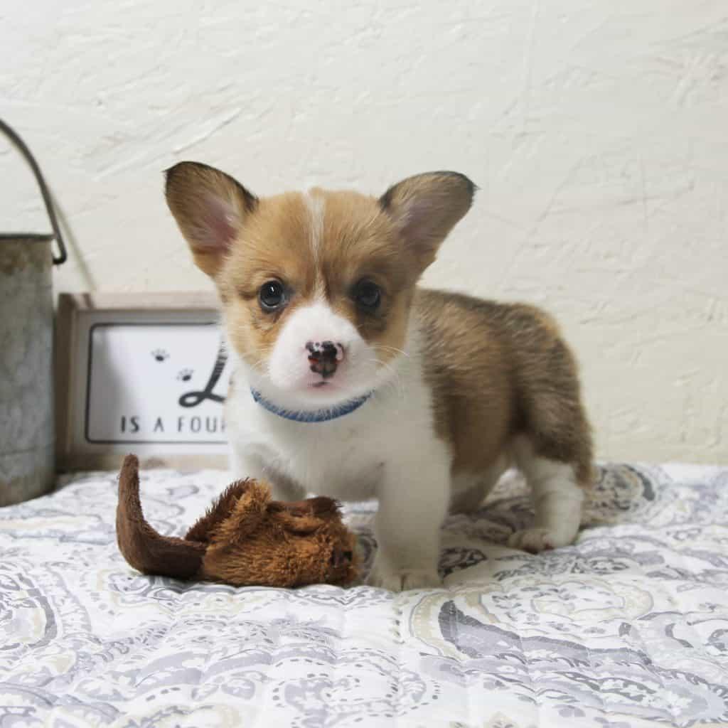 Sable Corgi Puppy