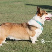 Benson Sable Pembroke Welsh Corgi at Harman Corgis